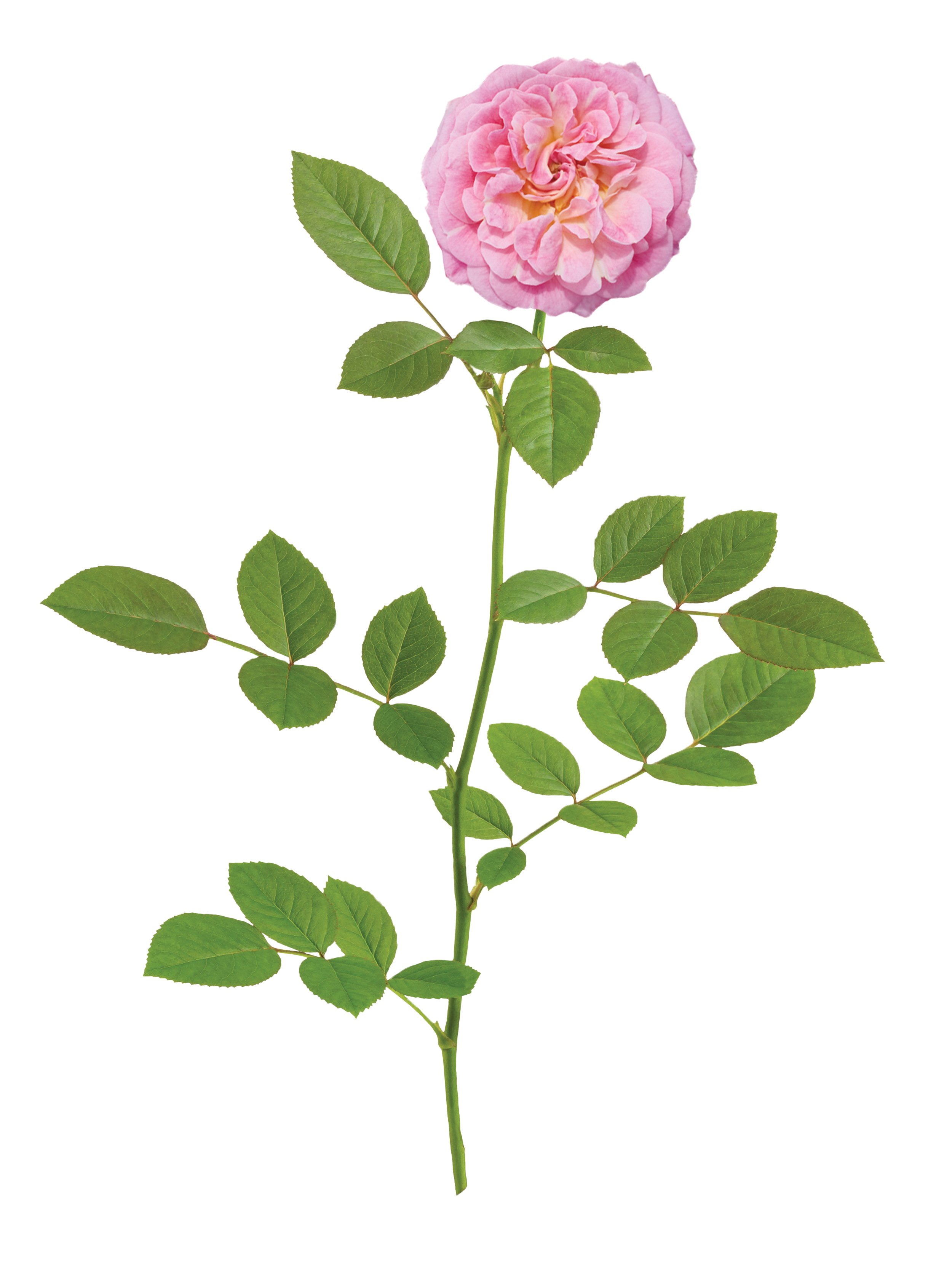 The Sweet Drift® Rose - 'Meiswetdom' PP 21,612Sweet Drift® forms full clusters of sweet pink blooms from mid-spring to the first hard freeze of late fall. No cottage garden is complete without the charming romance of Sweet Drift.®Zones: 4–11 | Exposure: Full sun | Habit: 1½' h x 2½' w