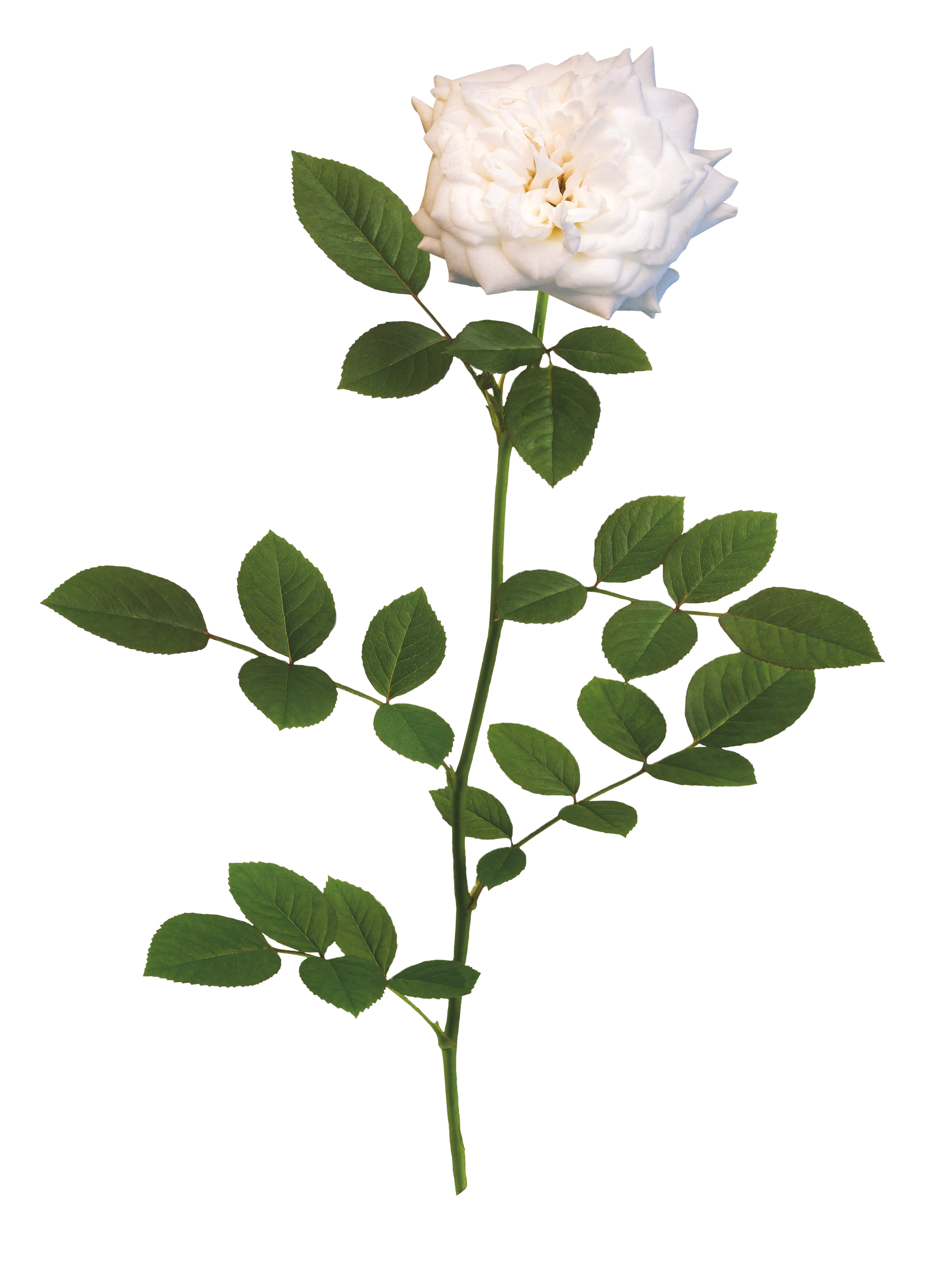 The White Drift® Rose - 'Meizorland' PPAFWhite Drift® has pure white, fully double flowers that are perfectly shaped like miniature roses. These impressive white blooms will brighten gardens of all shapes and styles. This variety can have slight coloration of Sweet Drift®.Zones: 4–11 | Exposure: Full sun | Habit: 1½' h x 2½' w
