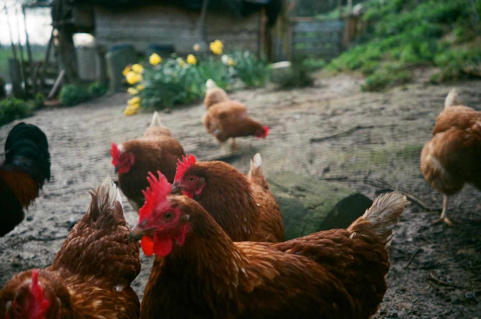 chickens .JPG