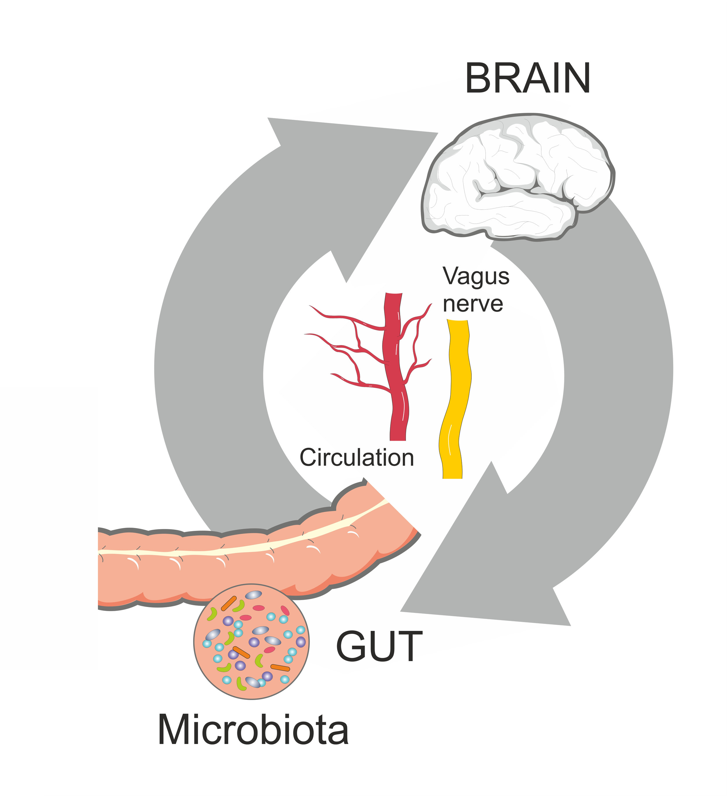 The gut is the second brain