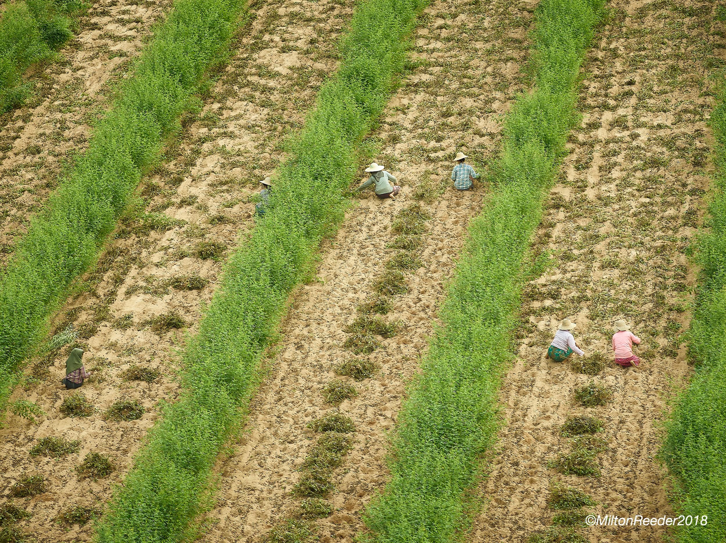 Ladies Working in Field, Bagan, Myanmar