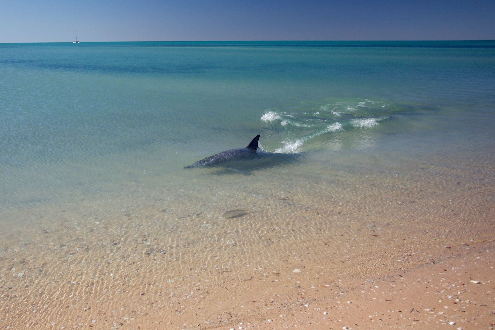 Piccalo pursues a fish by the beach at Monkey Mia  © Simon Allen