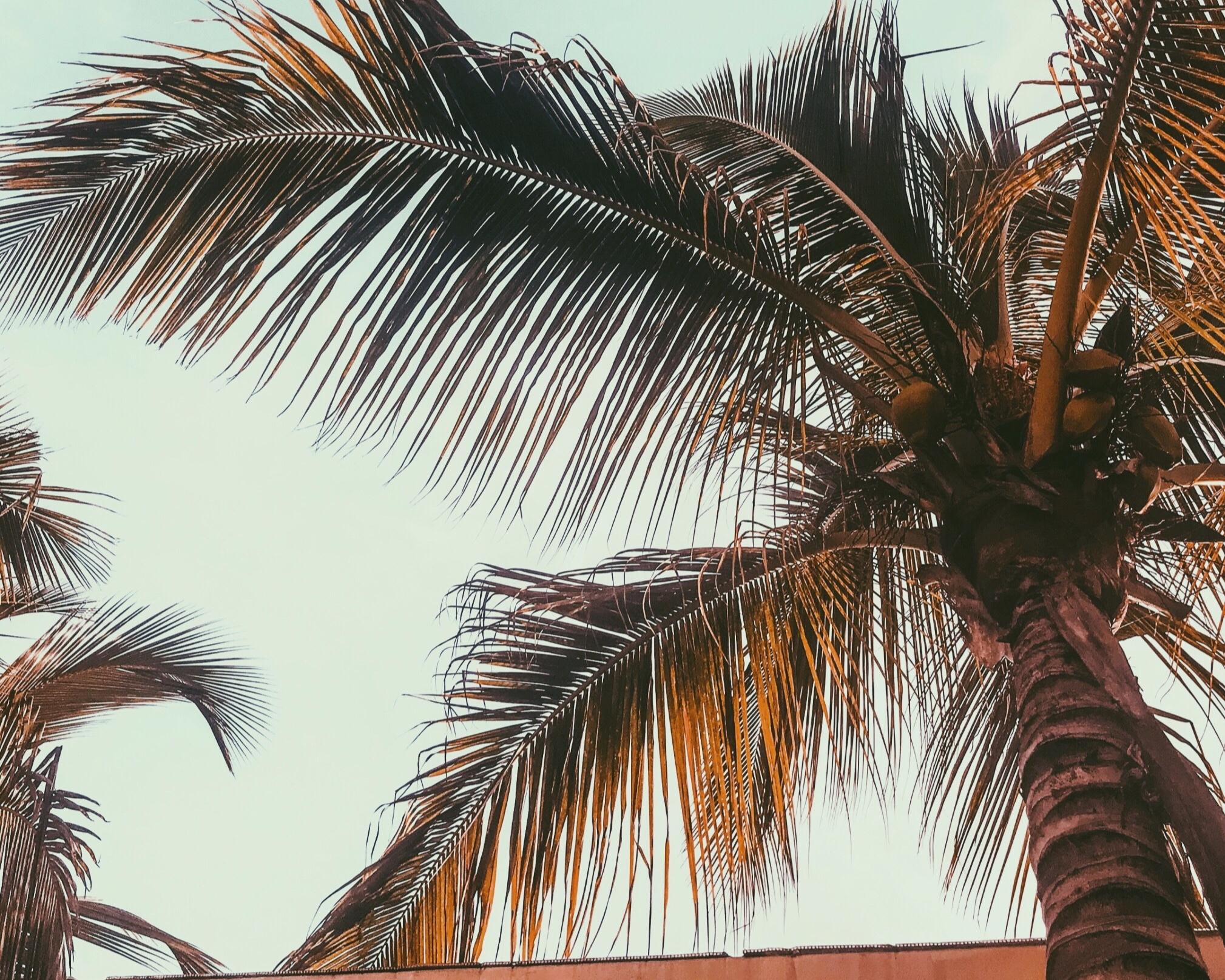 Palm+tree