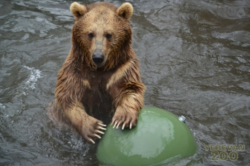 The new management introduced boomer balls, such as this one pictured with a brown bear, and other enrichment tools into many of the animal exhibits. Credit: Yerevan Zoo.