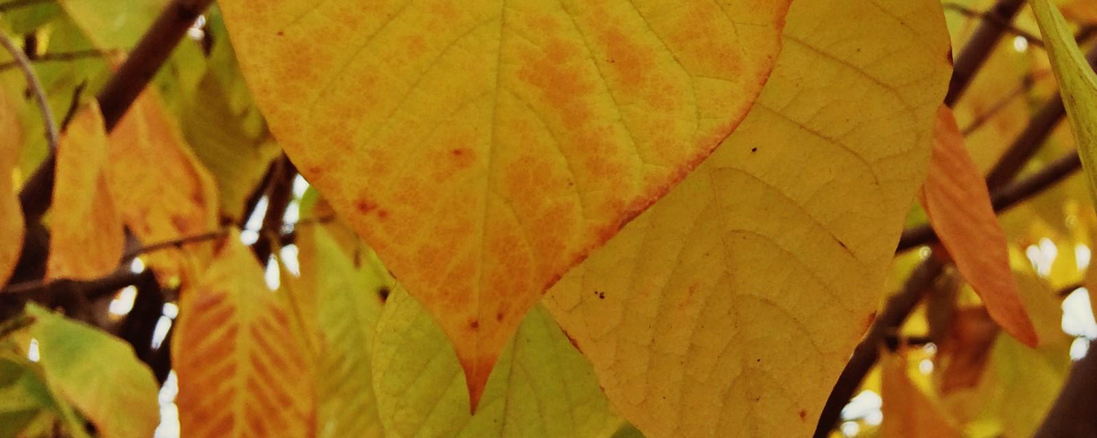 Misc-autumn pawpaw foliage 2.jpg