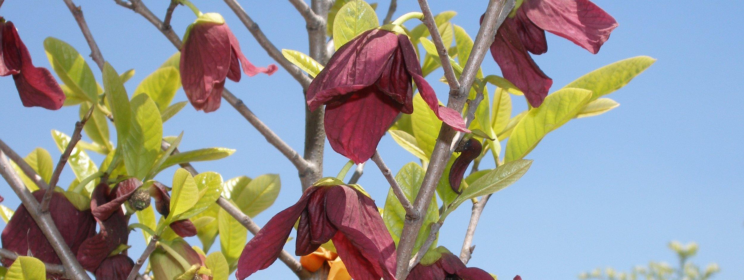 Hybrid pawpaw flowers  2.jpg