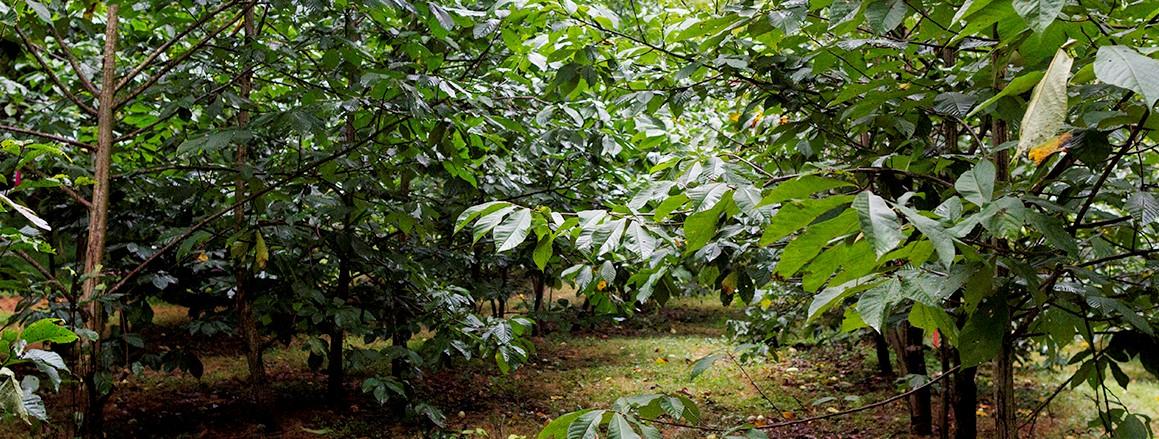 wet pawpaw orchard dense 2.jpg