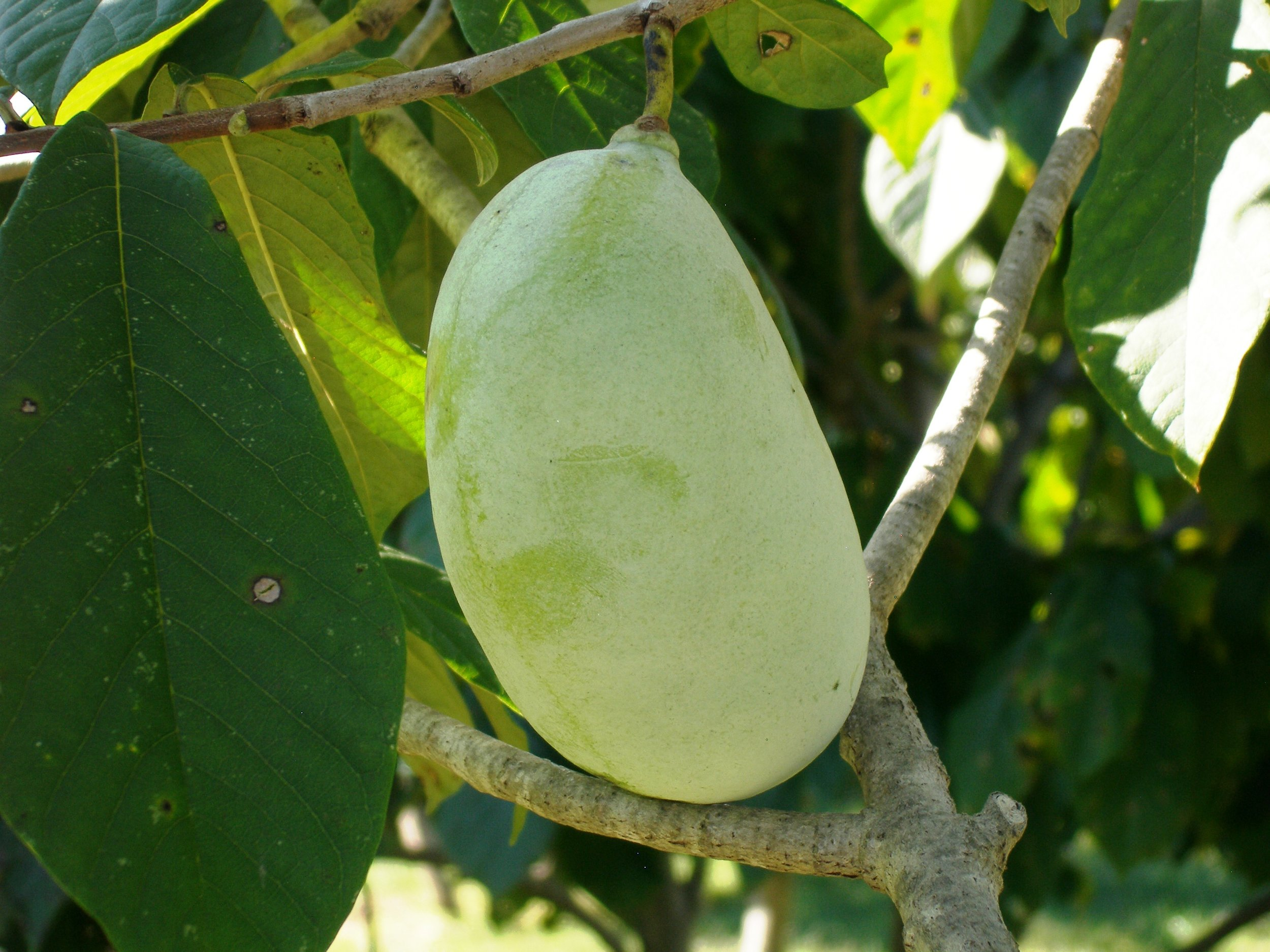 Allegheny Fruit.JPG