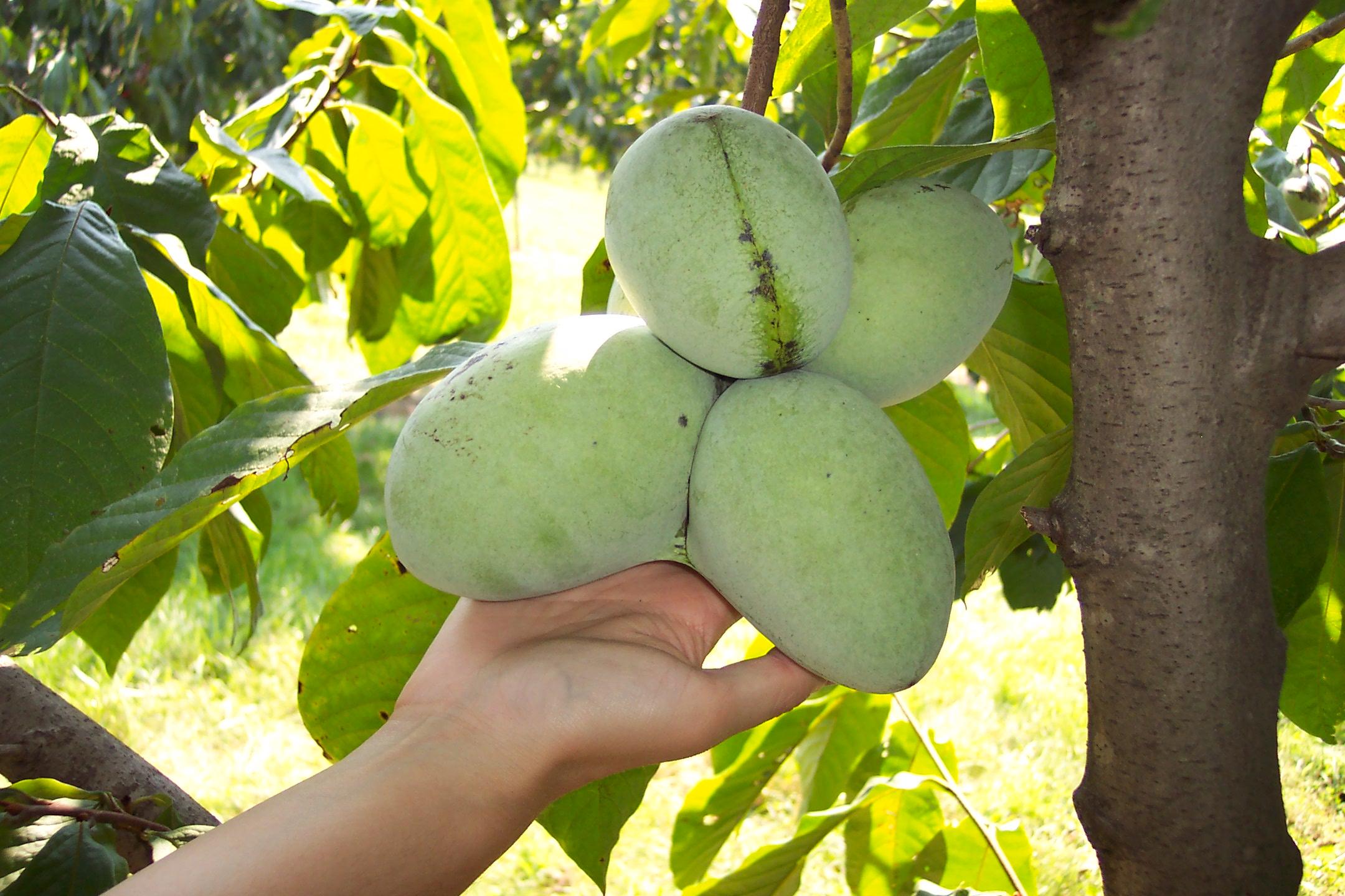 Potomac fruit 2.JPG