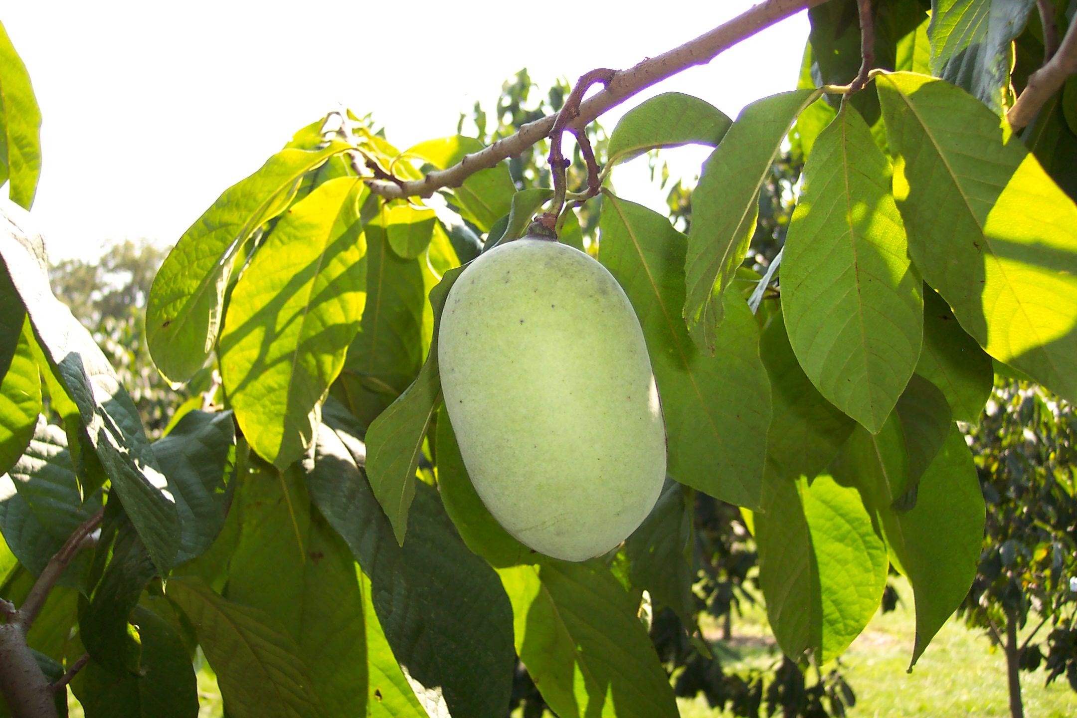 Potomac fruit.JPG