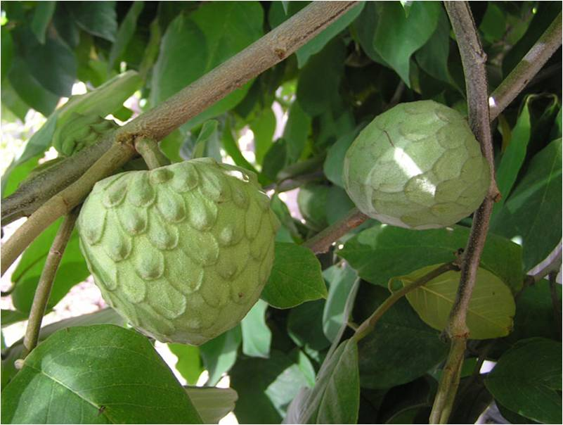 """cherimoya - a cousin to pawpaw"""