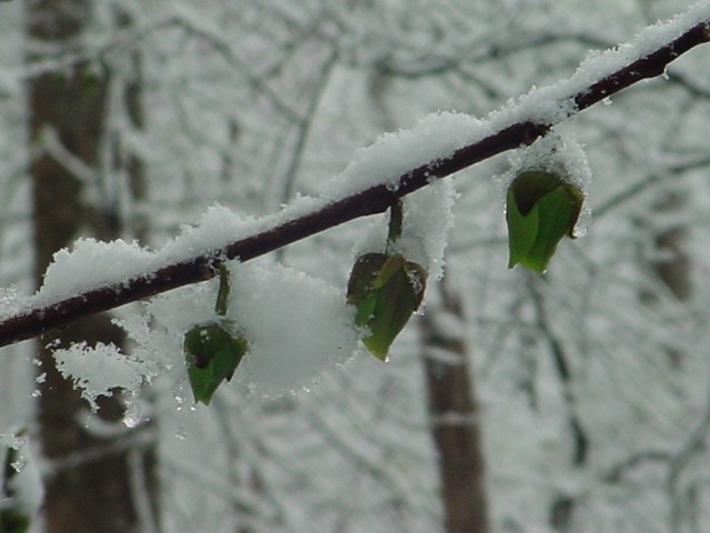 """snow on the pawpaw blooms"""