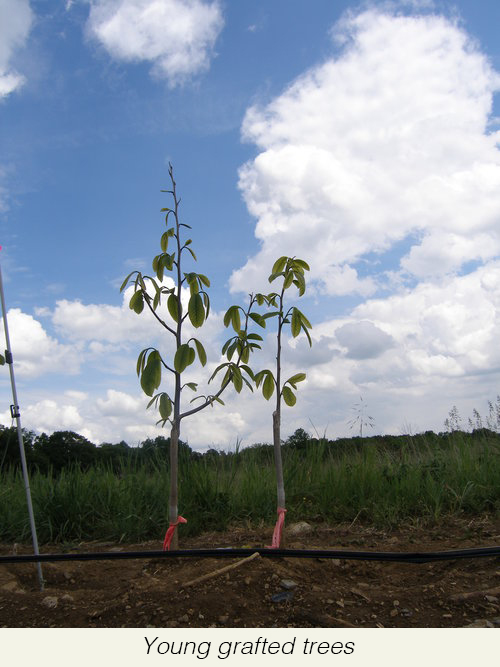 young+grafted+trees.jpg