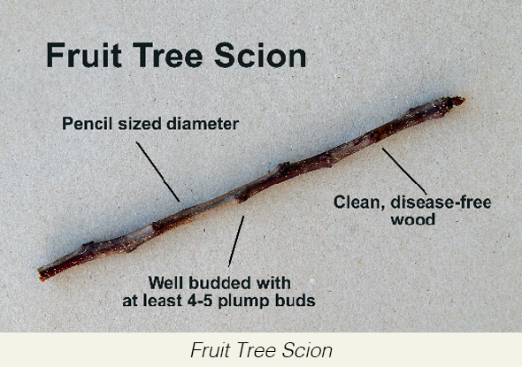 Fruit+Tree+Scion(1).jpg