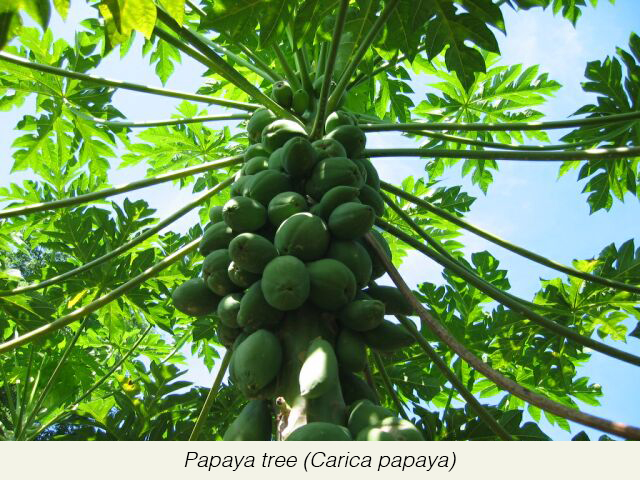 papaya+is+also+called+by+the+name+pawpaw+but+is+disctinly+different+it's+not+even+a+tree.jpg