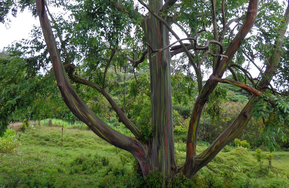rainbow-eucalyptus-13.jpg