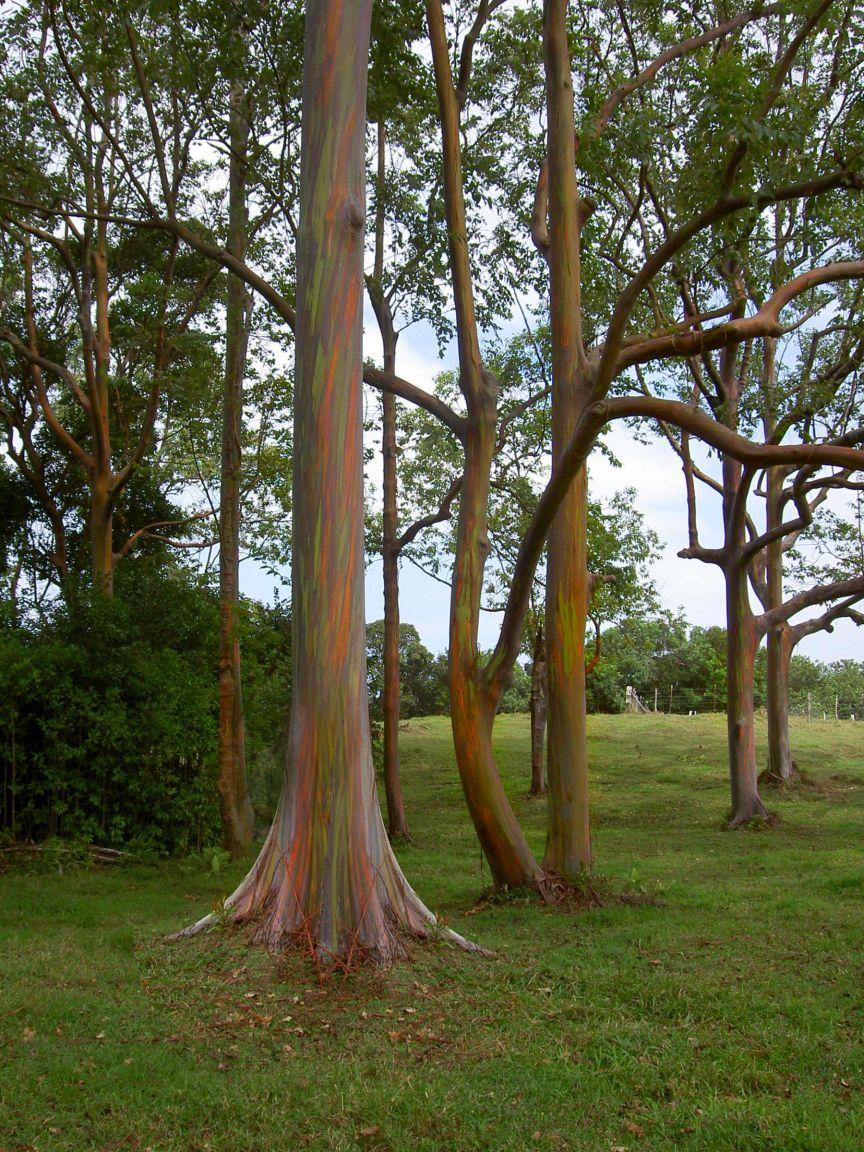 Eucalyptus_deglupta-trees2.jpg