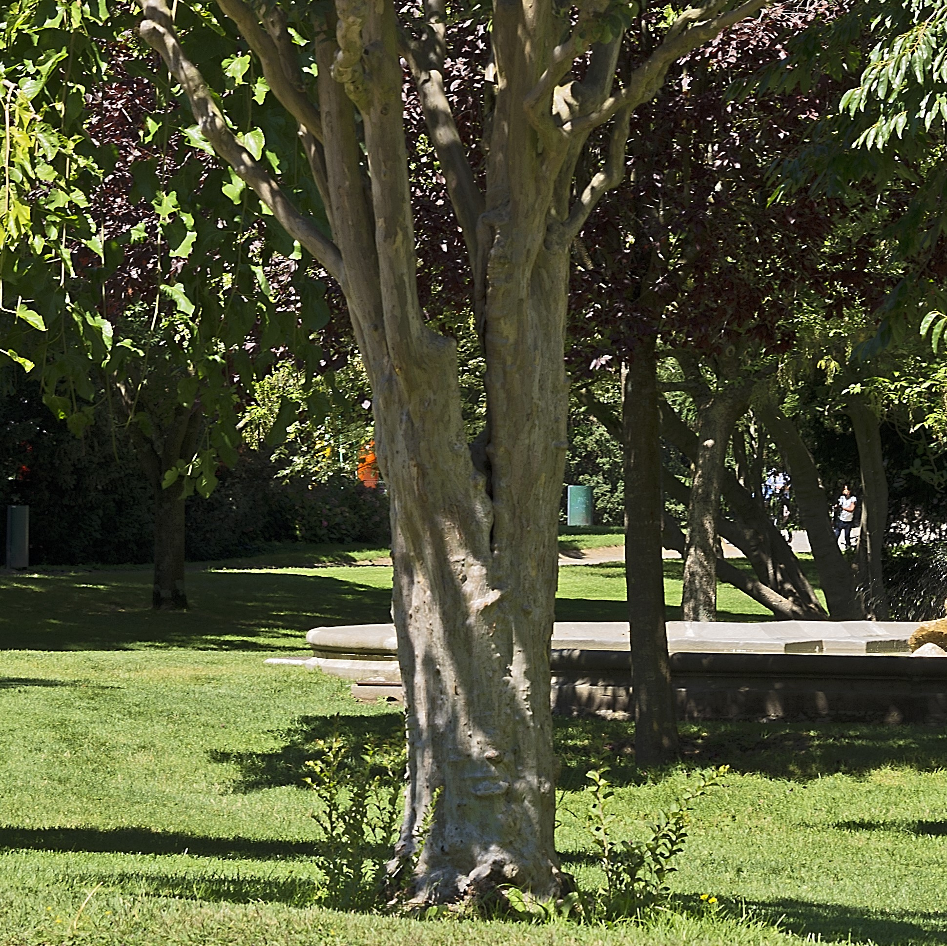 A tree with this large of a trunk would require the shoots to be cut off, but most smaller trees can afford the addition of these newer sprouts.