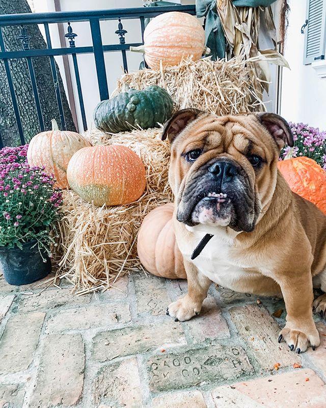 Happy Fall ya'll. 🍁🍂🎃 And happy 1st birthday to the sweetest English Bulldog, @mr.bearthebulldog