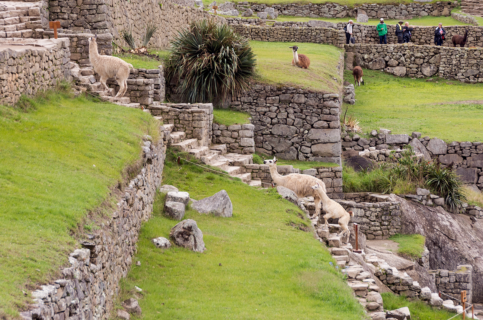 LlamaStairs.jpg