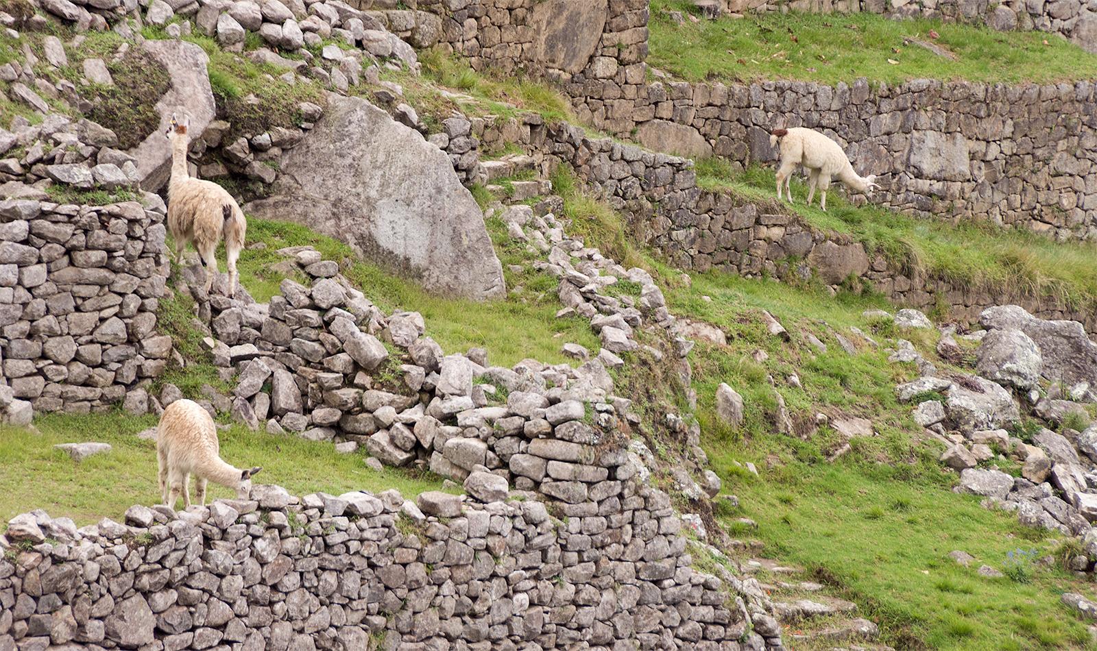Llamas1.jpg