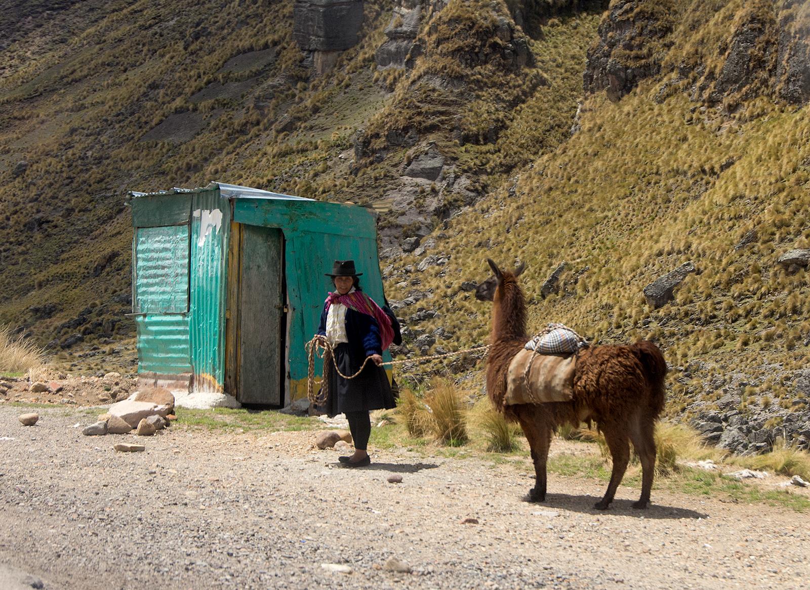 Llama walk