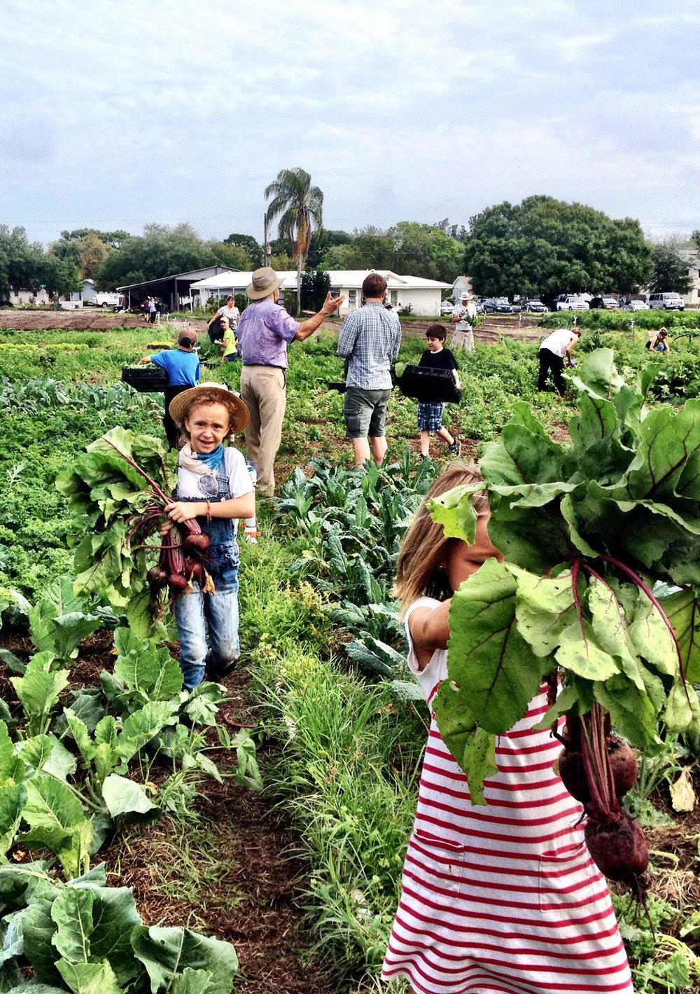 Mangrove School of Sarasota volunteers lend a hand harvesting beets. Photo by Erin Melia