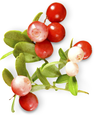 environment_plants_lingonberry.png
