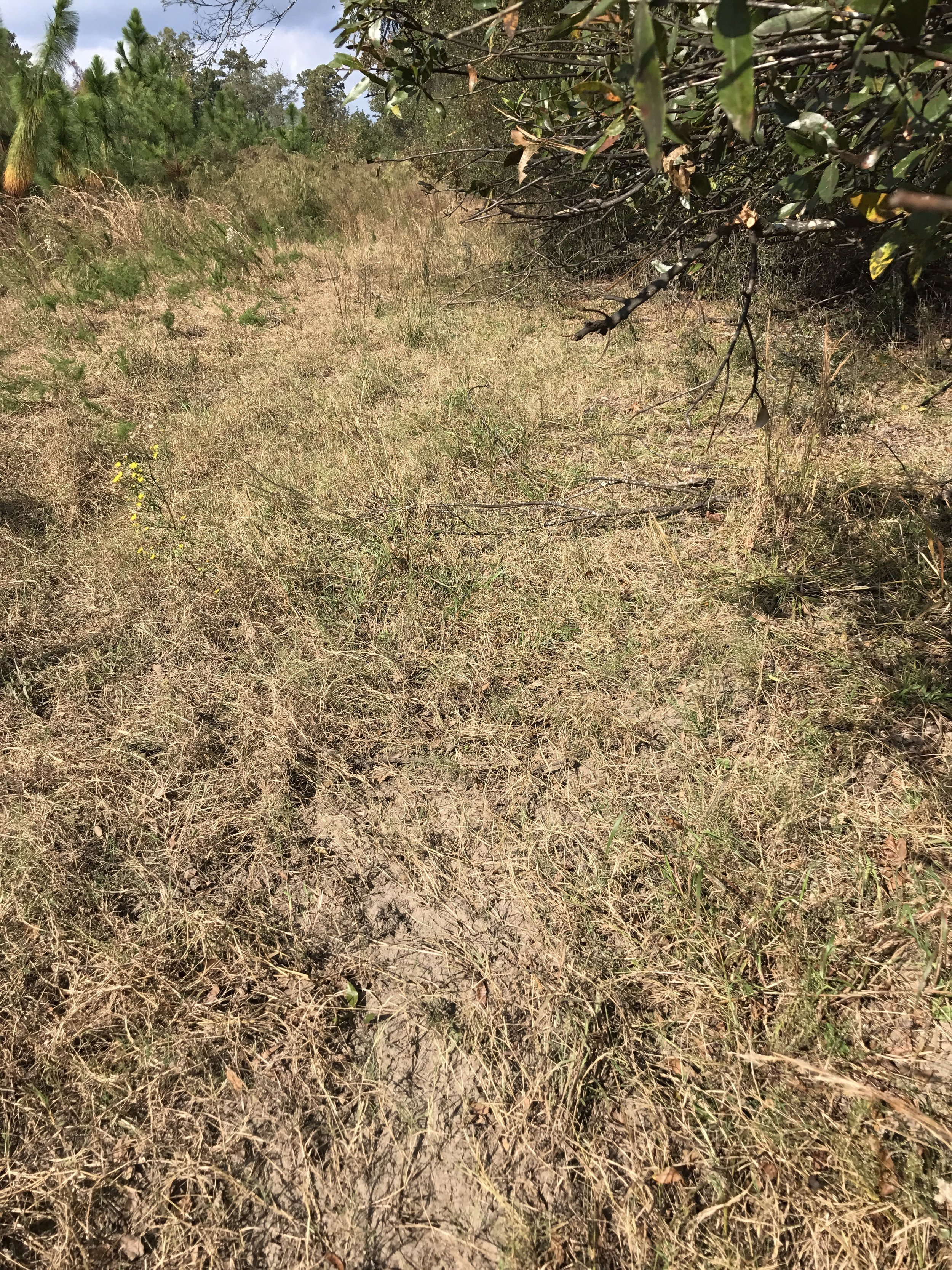 A possible community scrape on some Alabama public land. A close look shows the ground has been worked and sevral licking branches broken off after lots of use.