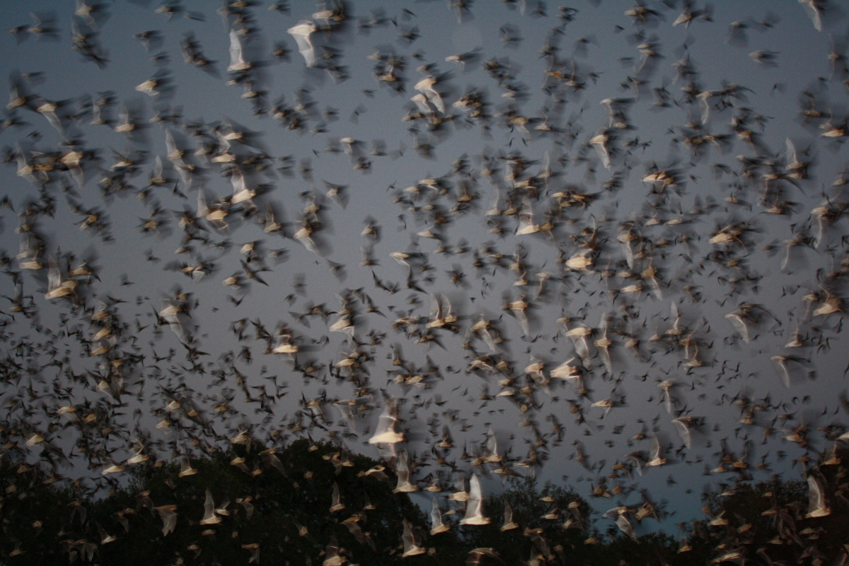 Mexican free-tailed bats emerge from Texas's Bracken Cave. Over 15 million bats live there, making it the largest known bat colony (and largest concentration of mammals) on Earth. Photo by Ann Froschauer, USFWS.