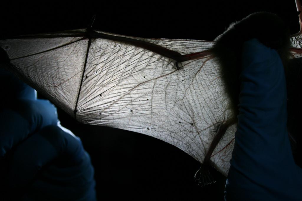 Biologist inspects bat wing. credit USFWS/Ann Froschauer