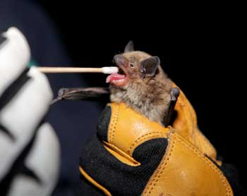 Researchers use cotton swabs to retrieve saliva samples from the mouths of bats captured near Flagstaff to detect the rabies virus. Photo by Jake Bacon