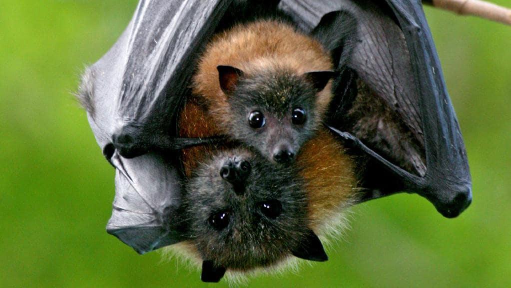Mother and baby Flying Fox bats in Ku-ring-gai. Photo: Vivien Jones