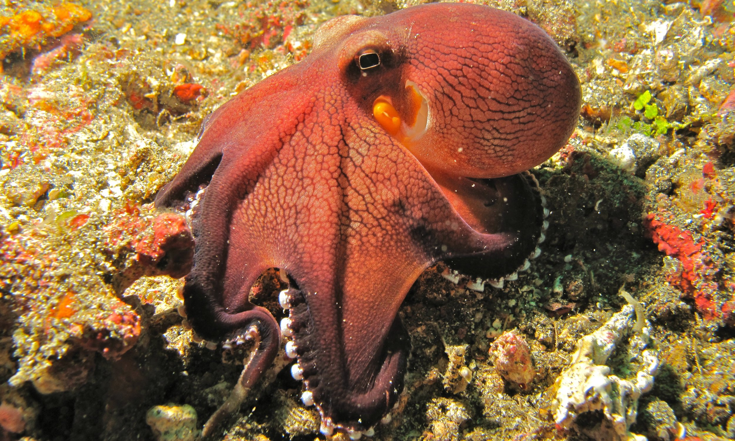 Coconut_Octopus_(Amphioctopus_marginatus)_(6079648725).jpg