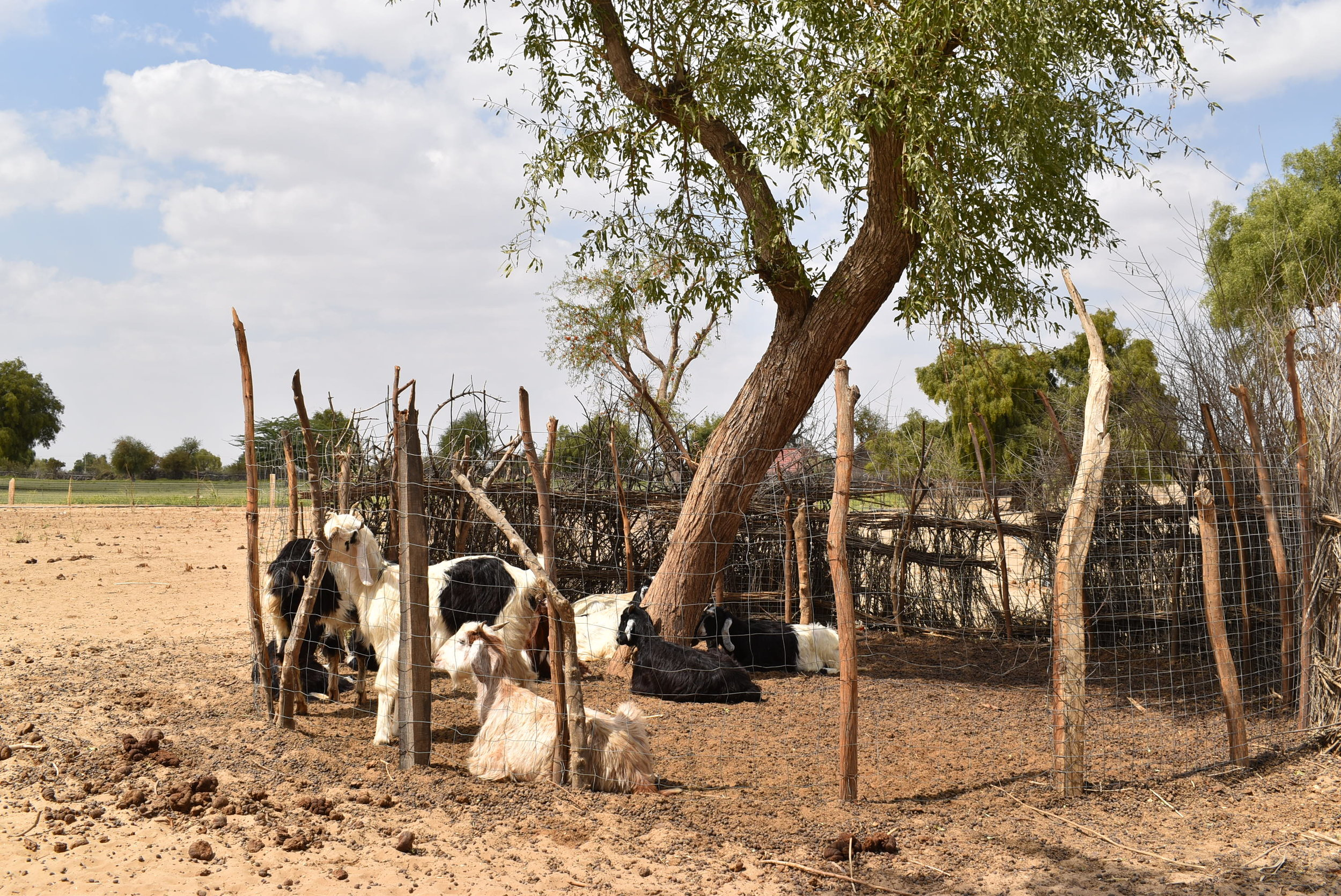 Livestock is an important livelihood for farmers and complements the production of cumin. The goat's dung provides organic material to the sandy soil. Both activities are the main source of income for rural communities in the Barmer district, in Rajasthan.