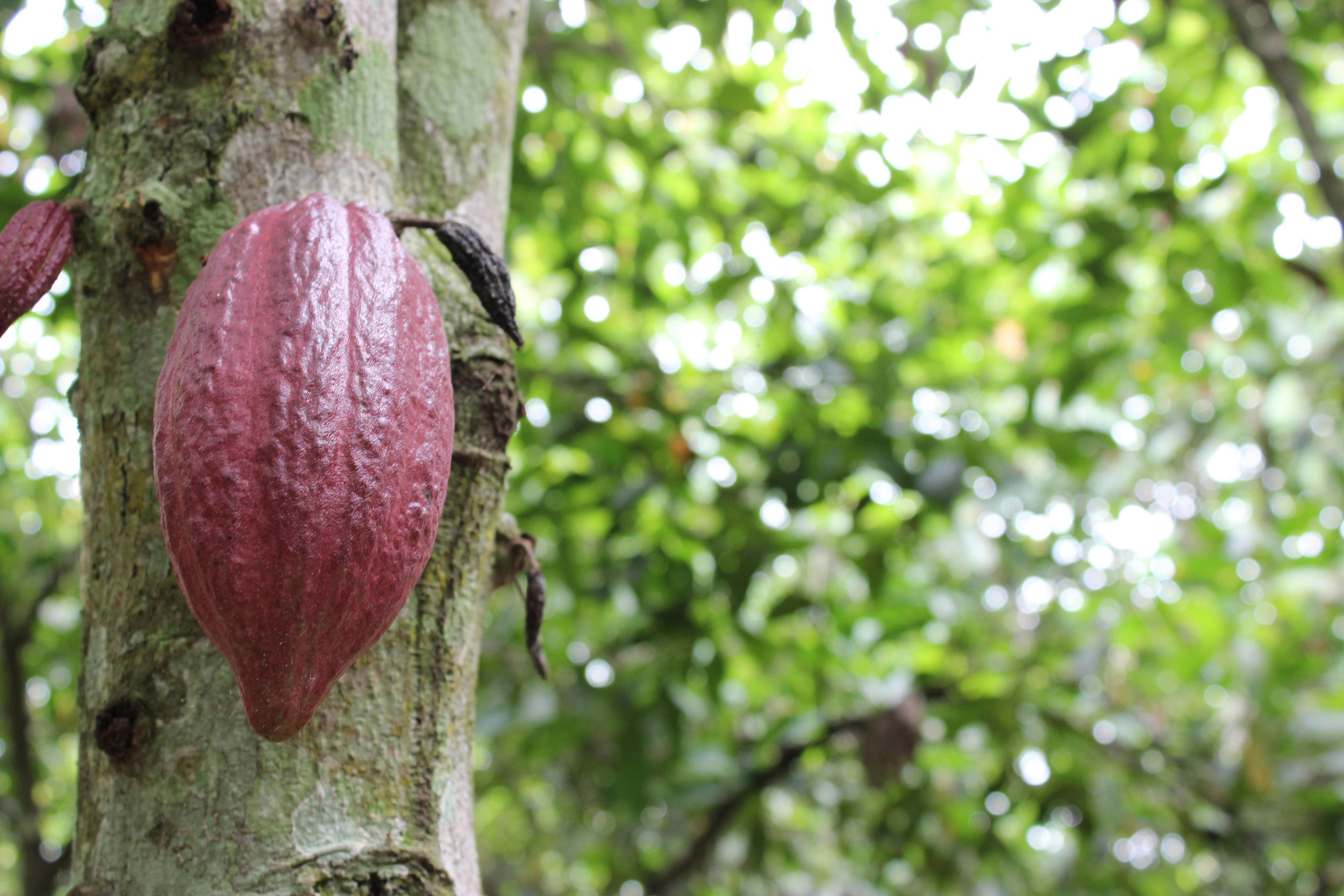 Cacao-Ritter-web.jpg