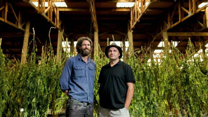 Medical cannabis a 'billion-dollar industry', says exporter who employs staff with a past | Stuff.co.nz