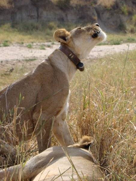 Movement and predation patterns of African lions - Loibor Siret, Tanzania