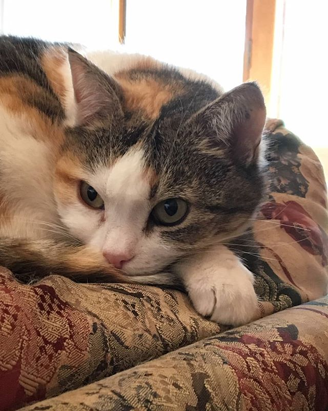 Say hello to Penny, another one of our #studiocats that belong to the people working on #kittyisnotacat! Penny belongs to @sarah.b.artist, one of our animators. She can be both sweet and feisty - one part Petal, one part Thorn! . . . . . #kinac #kittyisnotacatseries #catsofinstagram #cute