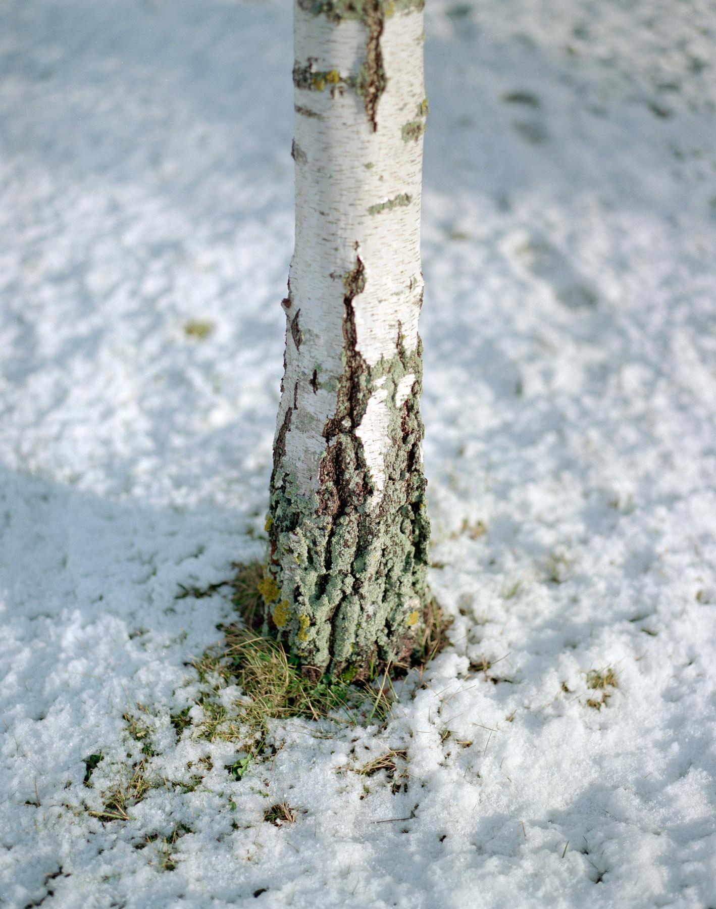 BirchtreeSnow 805-MaxHeimann.jpg