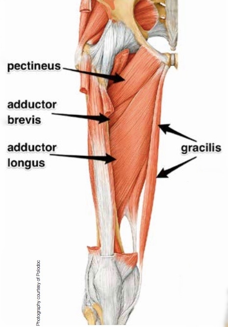 The muscle pattern of the upper thigh and adductor