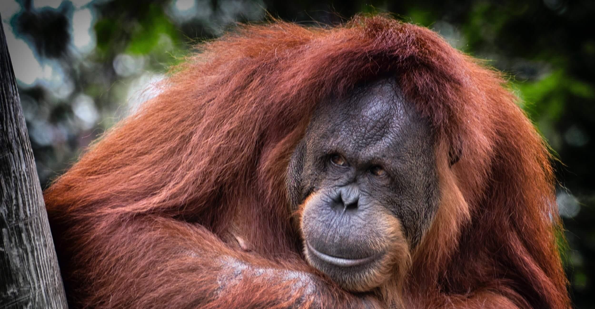 orangutang-breathe-portugal.jpg