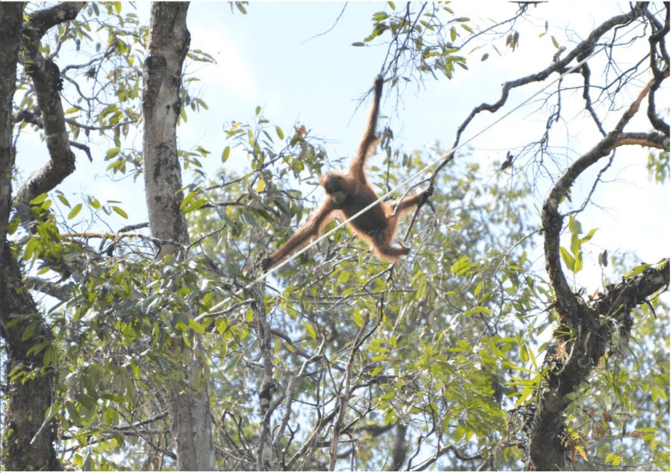 The oldest of the orangutans exploring the installed rope, which it eventually used to escape the tree.