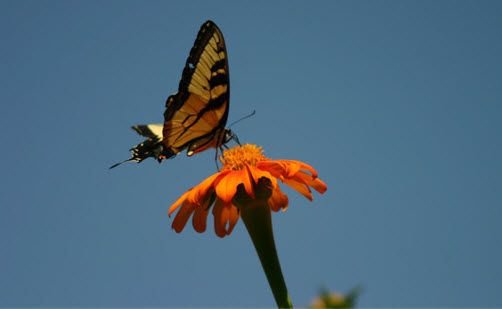 Eastern Tiger Swallowtail on Mexican Sunflower.jpg