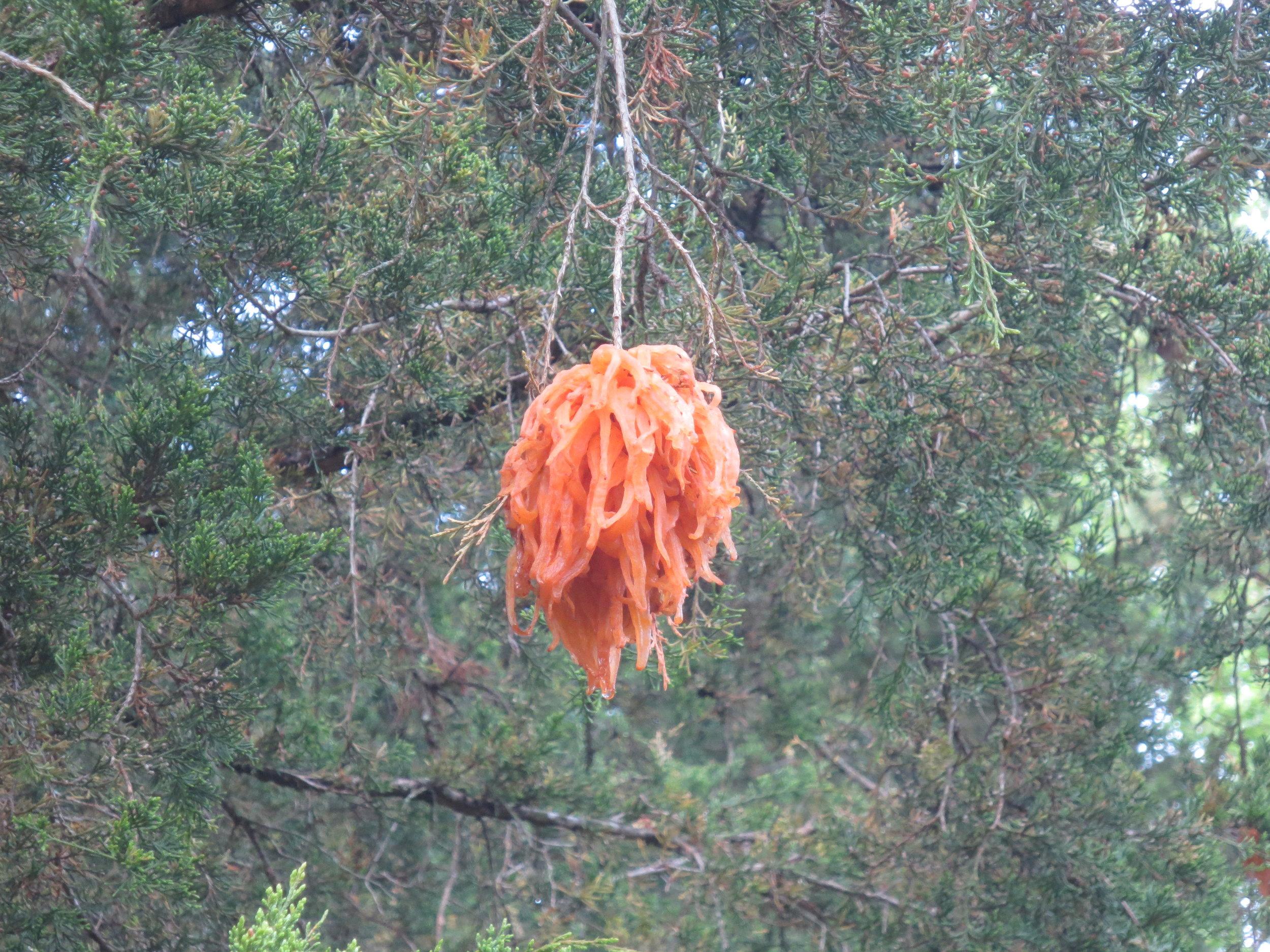 Cedar-apple rust in Mary Snoddy tree.JPG
