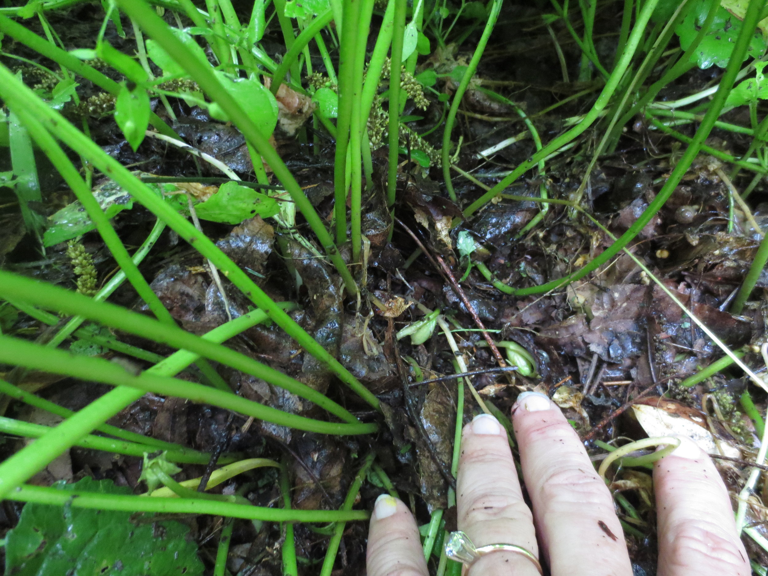 Tiny violets Lots of seeds.JPG