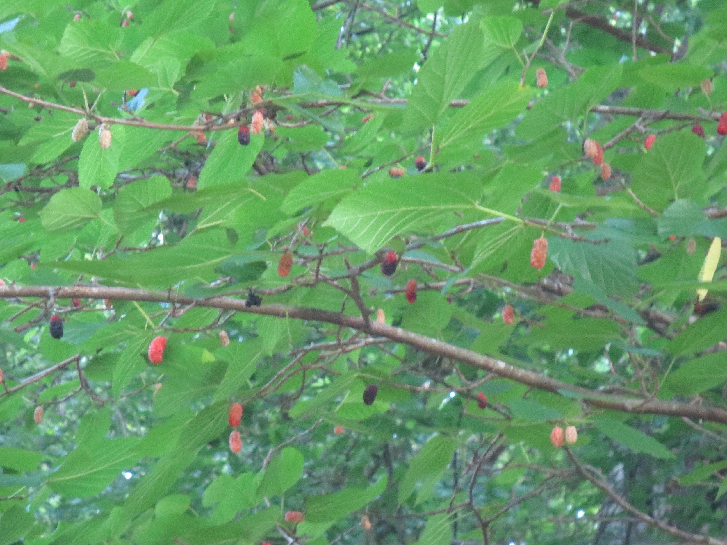 Mulberries on tree.JPG