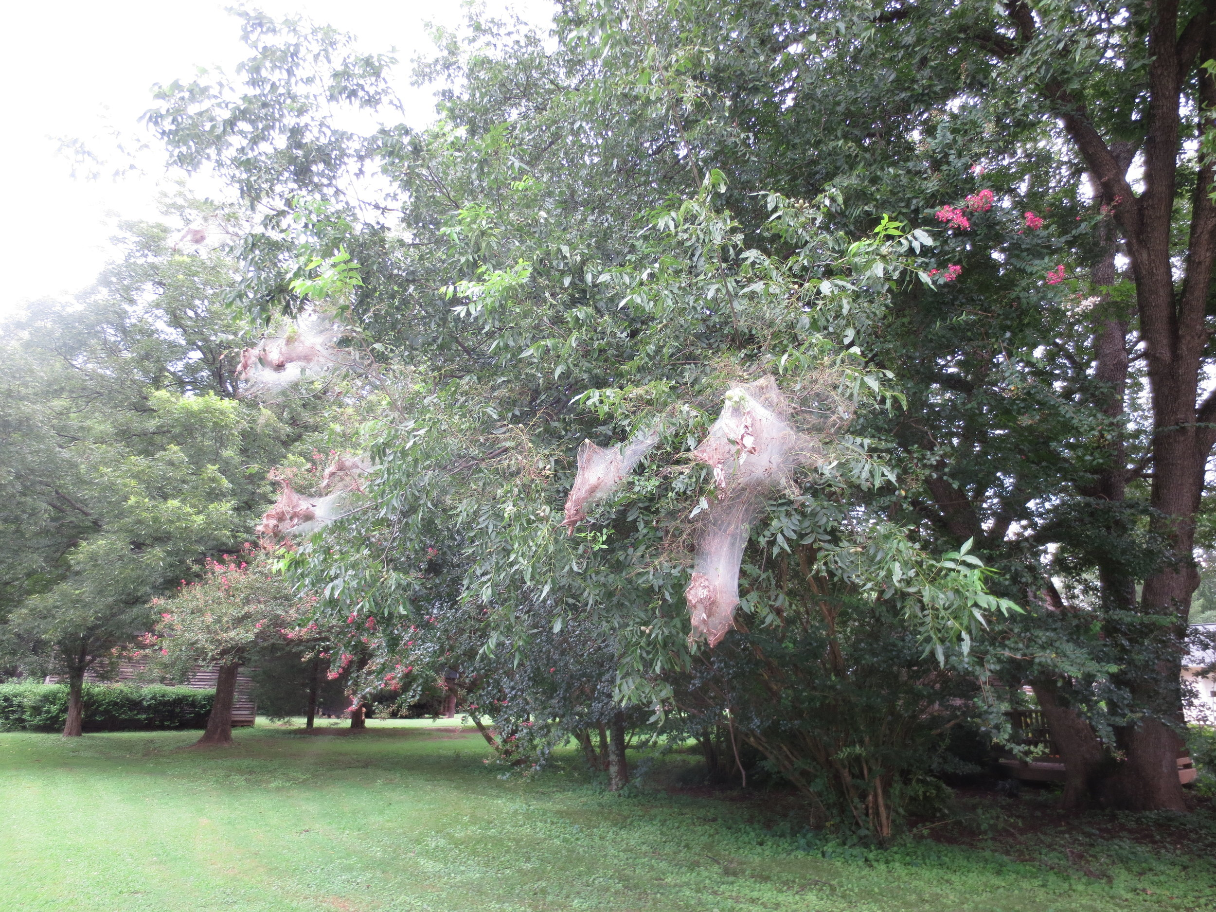 Webworms on Pecan.JPG