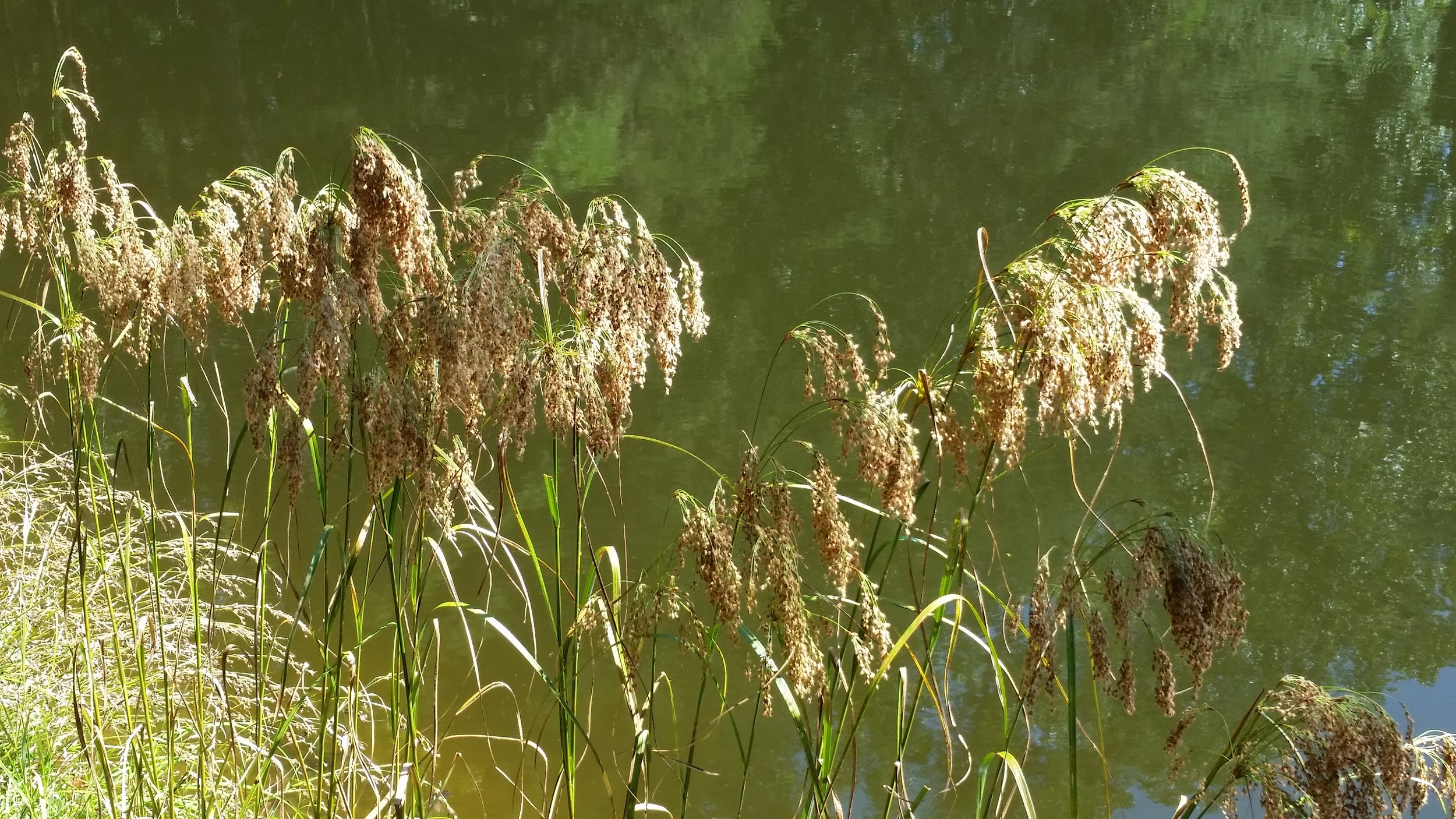 Pondside grasses.jpg