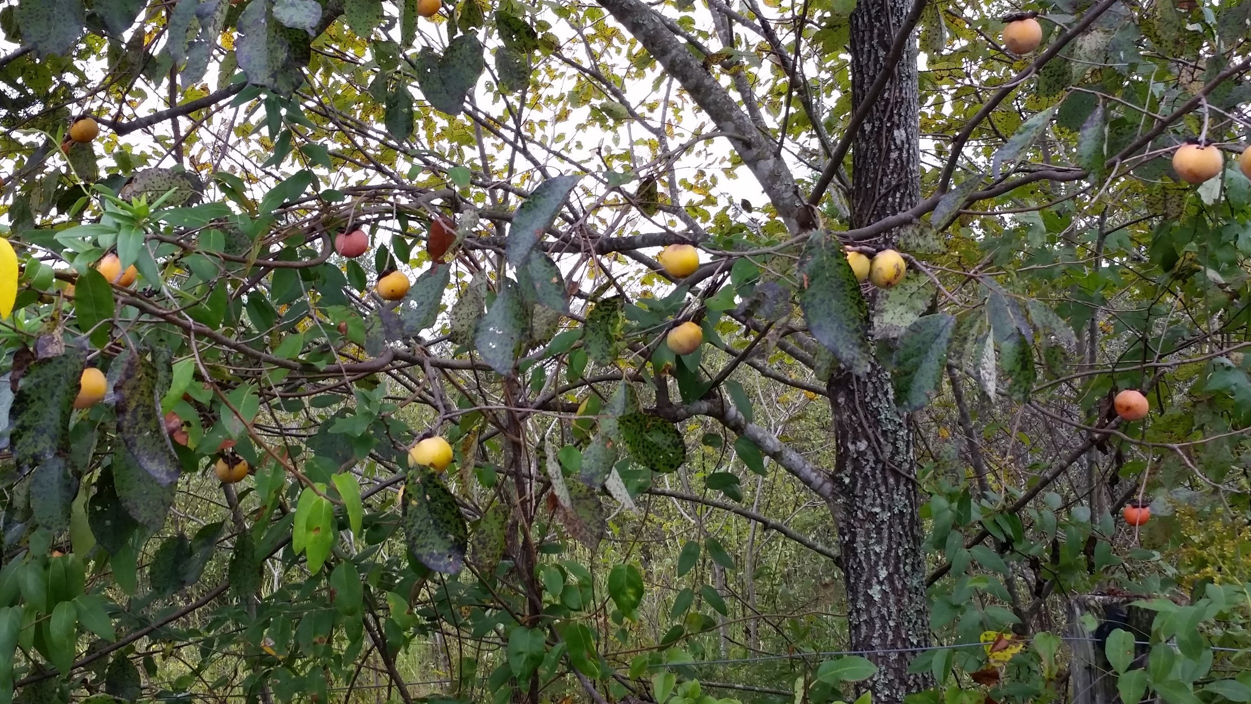 Native persimmon,  Diospyros virginiana . Also known as Possum Apples, since opossums love to eat the fallen fruit.